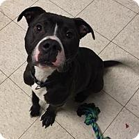 Adopt A Pet :: Quint - Cleveland, OH