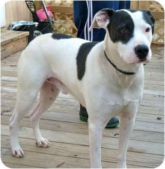 Biggie Smalls Adopted Dog Virginia Beach Va American Bulldog Hound Unknown Type Mix