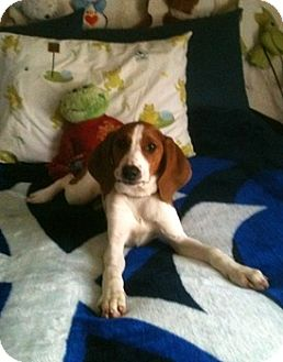 Treeing Walker Coonhound/Redbone Coonhound Mix Puppy for adoption in Sacramento area, California - Key Lime Pie