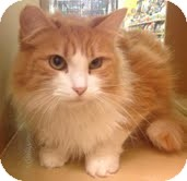 Domestic Mediumhair Cat for adoption in Modesto, California - Wholly