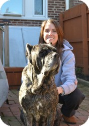 Cane Corso Dog for adoption in Marlton, New Jersey - Molly