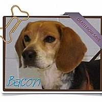 Adopt A Pet :: Bacon - Portland, OR