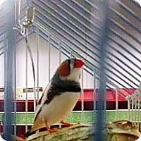 Adopt A Pet :: Freddie - Shawnee Mission, KS
