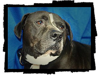 Labrador Retriever/American Pit Bull Terrier Mix Dog for adoption in Henderson, Kentucky - Buck