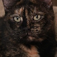 Domestic Shorthair Cat for adoption in Savannah, Missouri - Janie