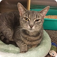 Domestic Shorthair Cat for adoption in Colmar, Pennsylvania - Bobbi
