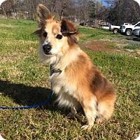 Adopt A Pet :: Pippen - Glastonbury, CT