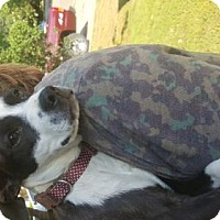 Adopt A Pet :: Brooks - Hartford, CT
