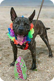 Shepherd (Unknown Type)/Terrier (Unknown Type, Medium) Mix Dog for adoption in Bridgewater, New Jersey - Layla