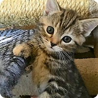 Adopt A Pet :: Kitten Jellybean - Seal Beach, CA