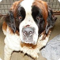 Adopt A Pet :: Saint Bernard male - San Jacinto, CA