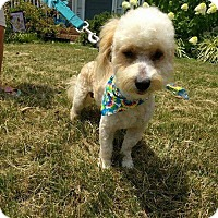 Adopt A Pet :: Ozzie (RBF) - Spring Valley, NY