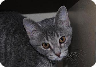Domestic Shorthair Kitten for adoption in Ridgeland, South Carolina - Jive