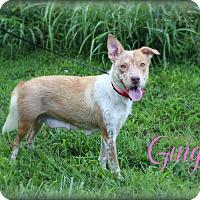 Australian Shepherd/Australian Cattle Dog Mix Dog for adoption in Clarksville, Tennessee - Ginger  **SPONSORED**