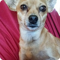 Chihuahua Mix Dog for adoption in Snyder, Texas - Kylo