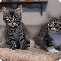 Adopt A Pet :: Geri's Kittens - Staten Island, NY