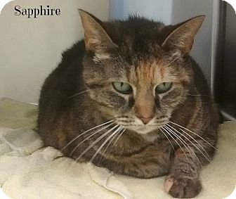 Domestic Shorthair Cat for adoption in Spring Brook, New York - Sapphire