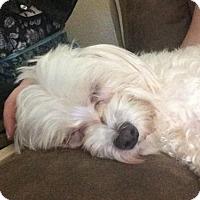 Maltese Dog for adoption in McKinney, Texas - Orko