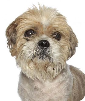 Shih Tzu Dog for adoption in Oakland Park, Florida - Damoscinos