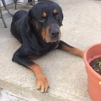 Rottweiler Mix Dog for adoption in Columbus, Ohio - Crosby