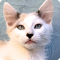 Snowshoe Kitten for adoption in La Jolla, California - Phoebe