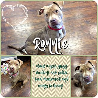 Pit Bull Terrier Mix Dog for adoption in Colmar, Pennsylvania - Ronnie