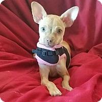 Adopt A Pet :: Sophia Vergrrra - Lemoore, CA