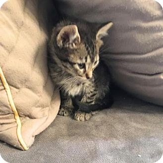 Domestic Shorthair Kitten for adoption in Austin, Texas - Timmy