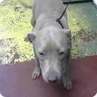 Adopt A Pet :: HARLEY - Atlanta, GA