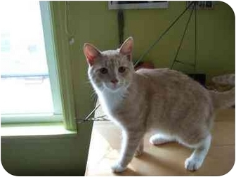 Domestic Shorthair Cat for adoption in Philadelphia, Pennsylvania - Malcom