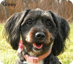 Schnauzer (Standard) Mix Dog for adoption in Warren, Pennsylvania - Ginny