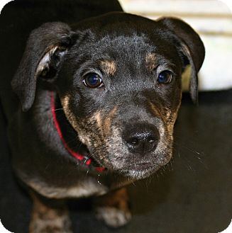 Rottweiler/Labrador Retriever Mix Puppy for adoption in Muskegon, Michigan - Evan