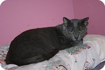 Russian Blue Cat for adoption in Santa Rosa, California - Teddy