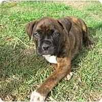 Adopt A Pet :: Darcy - Meridian, MS