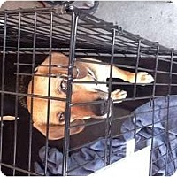 Adopt A Pet :: Hope - North Hollywood, CA