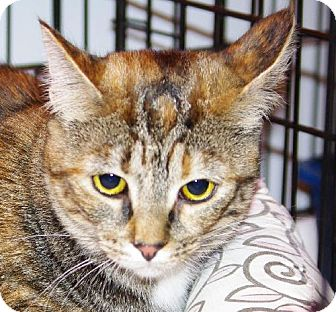 Domestic Shorthair Cat for adoption in Longview, Washington - Alice