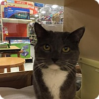 Adopt A Pet :: Munchkin - Willingboro, NJ