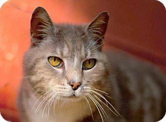 Domestic Shorthair Cat for adoption in Harrisonburg, Virginia - Stonewall