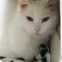 Adopt A Pet :: Ivory - Venice, FL