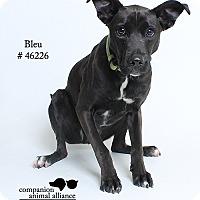 Adopt A Pet :: Bleu - Baton Rouge, LA