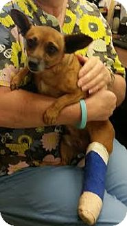 Chihuahua Mix Dog for adoption in Rohnert Park, California - Kody
