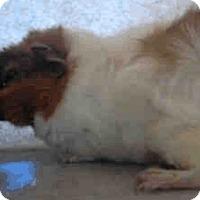 Adopt A Pet :: *Urgent* Kuzco - Fullerton, CA