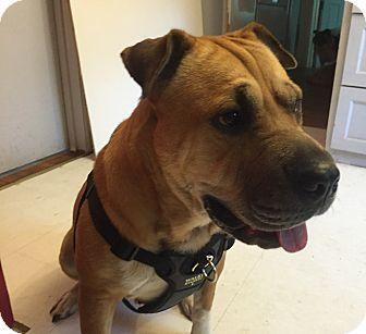 Shar Pei/Retriever (Unknown Type) Mix Dog for adoption in Fowlerville, Michigan - LuLu
