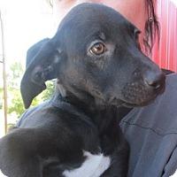 Adopt A Pet :: Wolsey - Germantown, MD