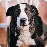 Adopt A Pet :: Kloe - Portland, OR