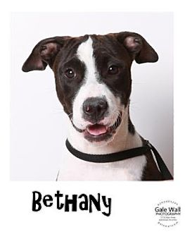 American Pit Bull Terrier Mix Puppy for adoption in Hutchinson, Kansas - Bethany