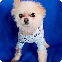 Adopt A Pet :: Signal - Irvine, CA