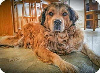 Bernese Mountain Dog Mix Dog for adoption in Naples, Florida - Bernie 720