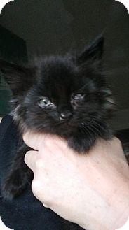 Domestic Mediumhair Kitten for adoption in Levelland, Texas - Lucky