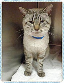 Adopt A Siamese Cat In Georgia
